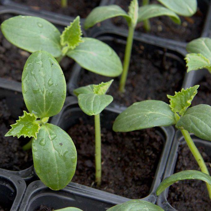 cucumber seedling
