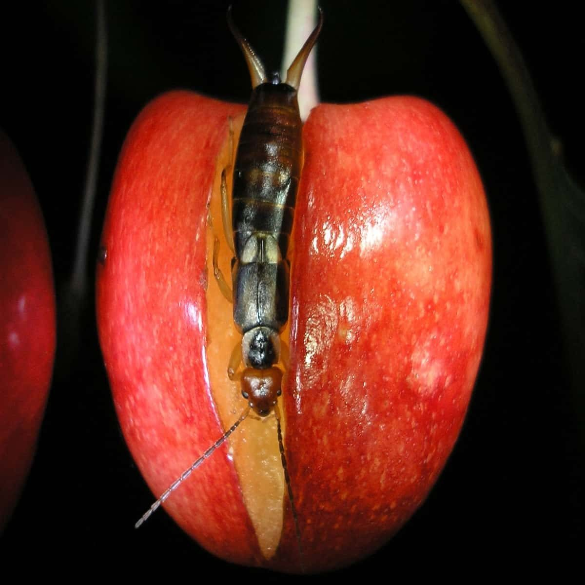 Earwig eating cherry