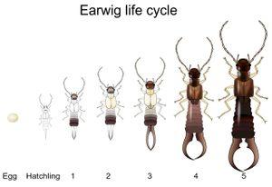 Earwig life cycle