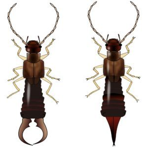 Earwig male vs female comparison