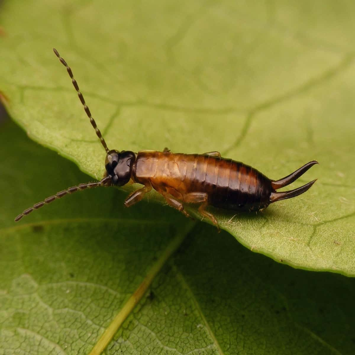 Earwig nymph