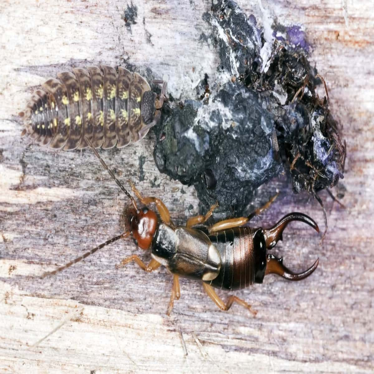 Earwigs cleaning droppings