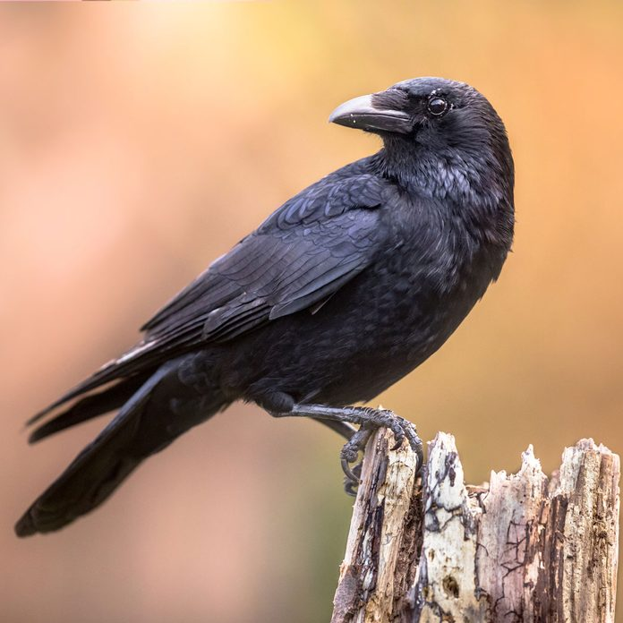 Photo of a crow