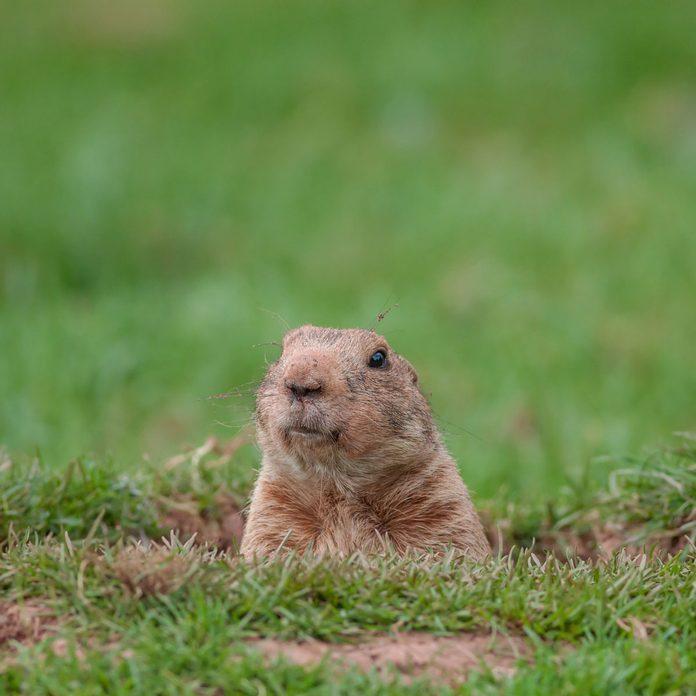 Photo of a groundhog