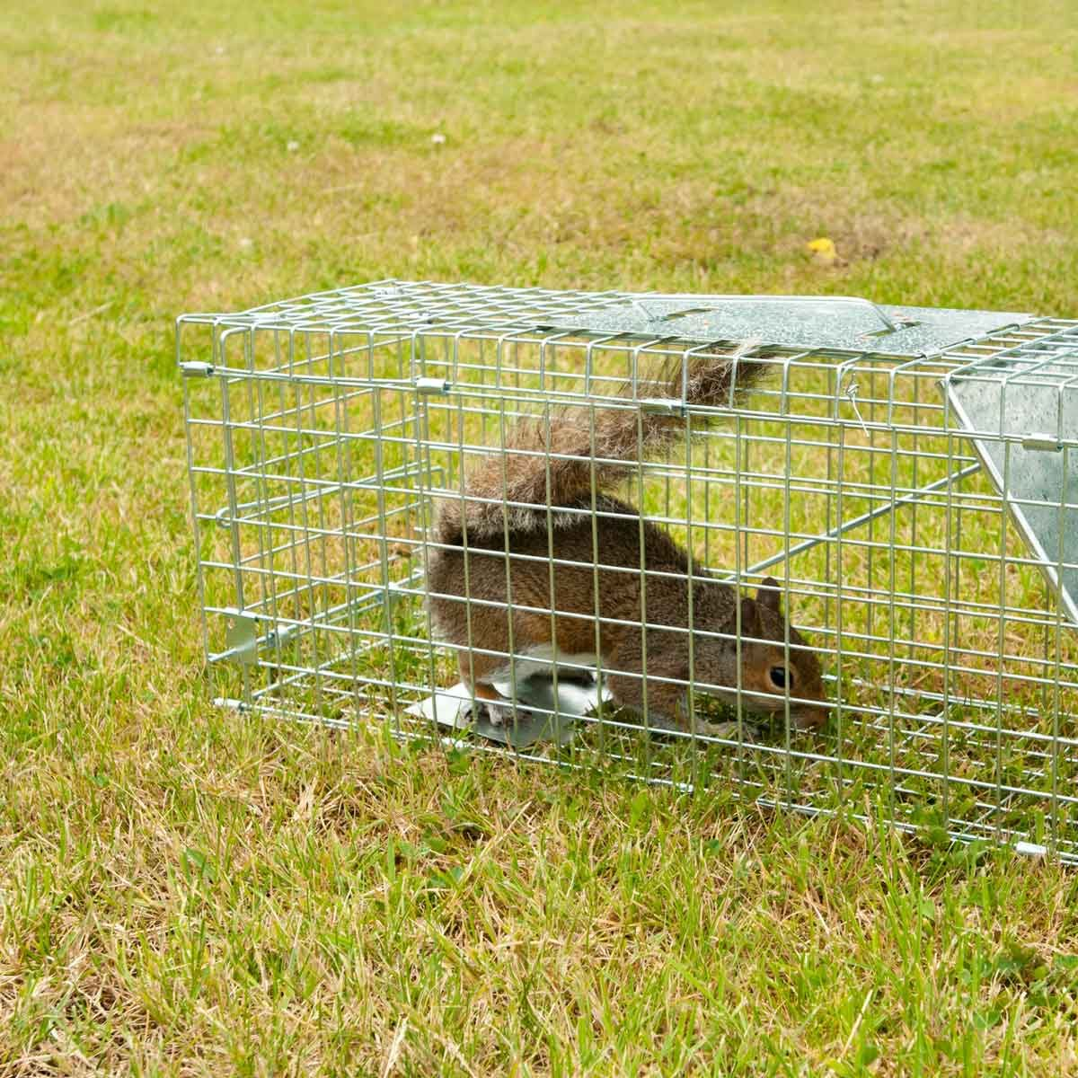Live trap for squirrels and pests