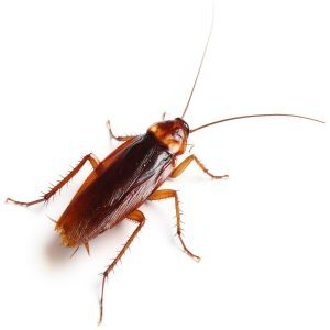 What does a cockroach look like