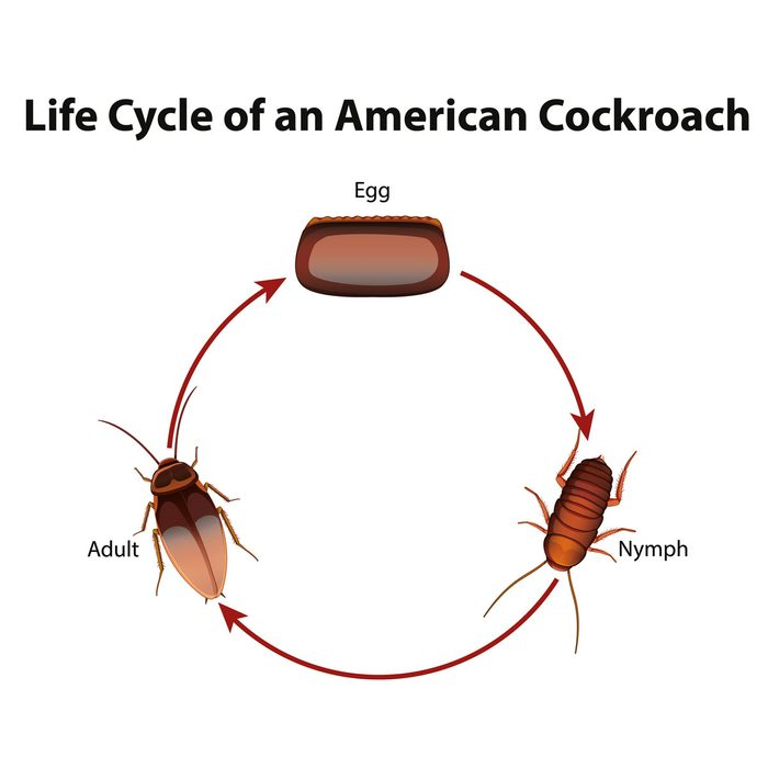 Cockroach Lifecycle diagram