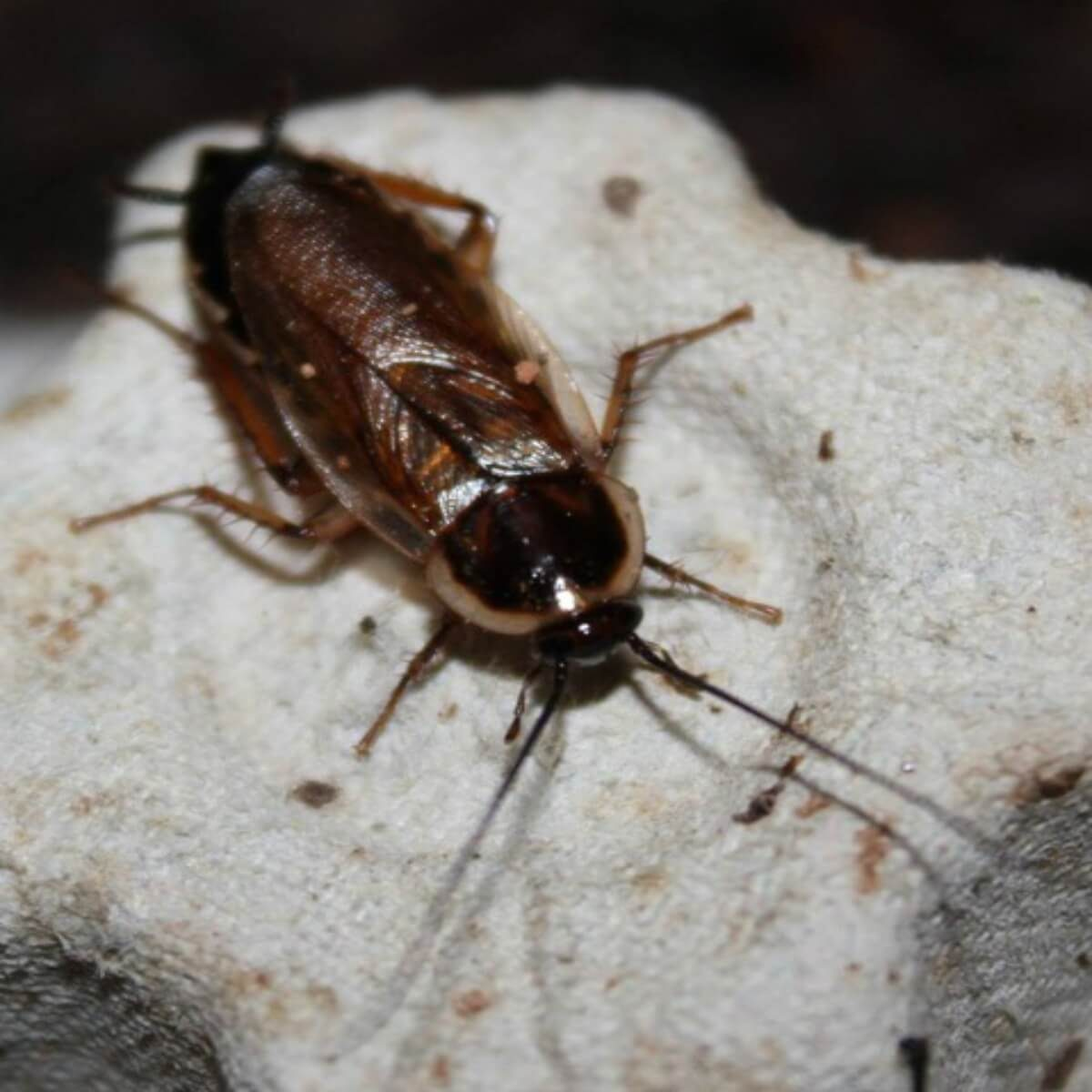 pennsylvania woods cockroach