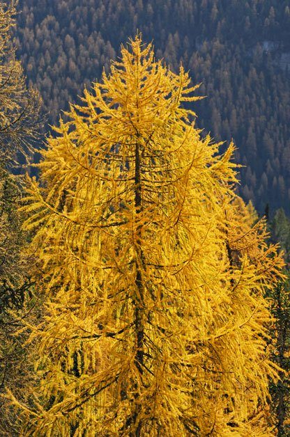 larch tree birds and blooms