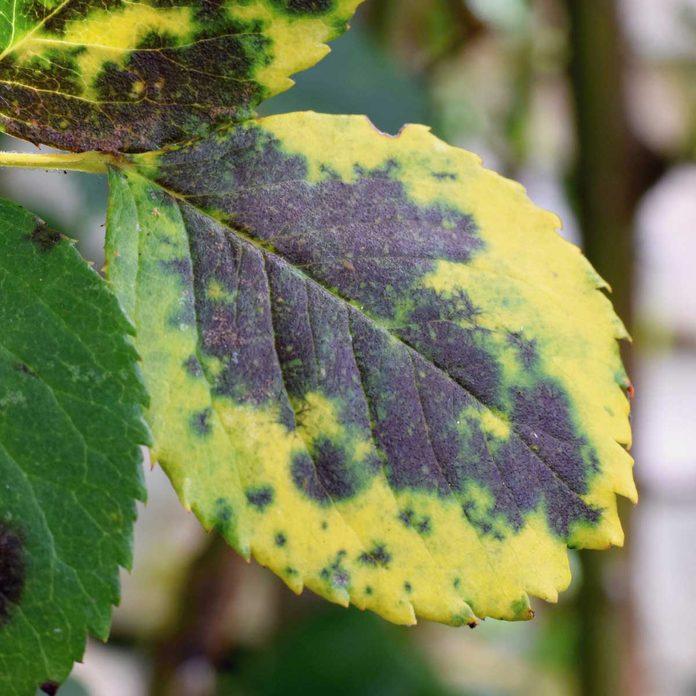 Black spot disease