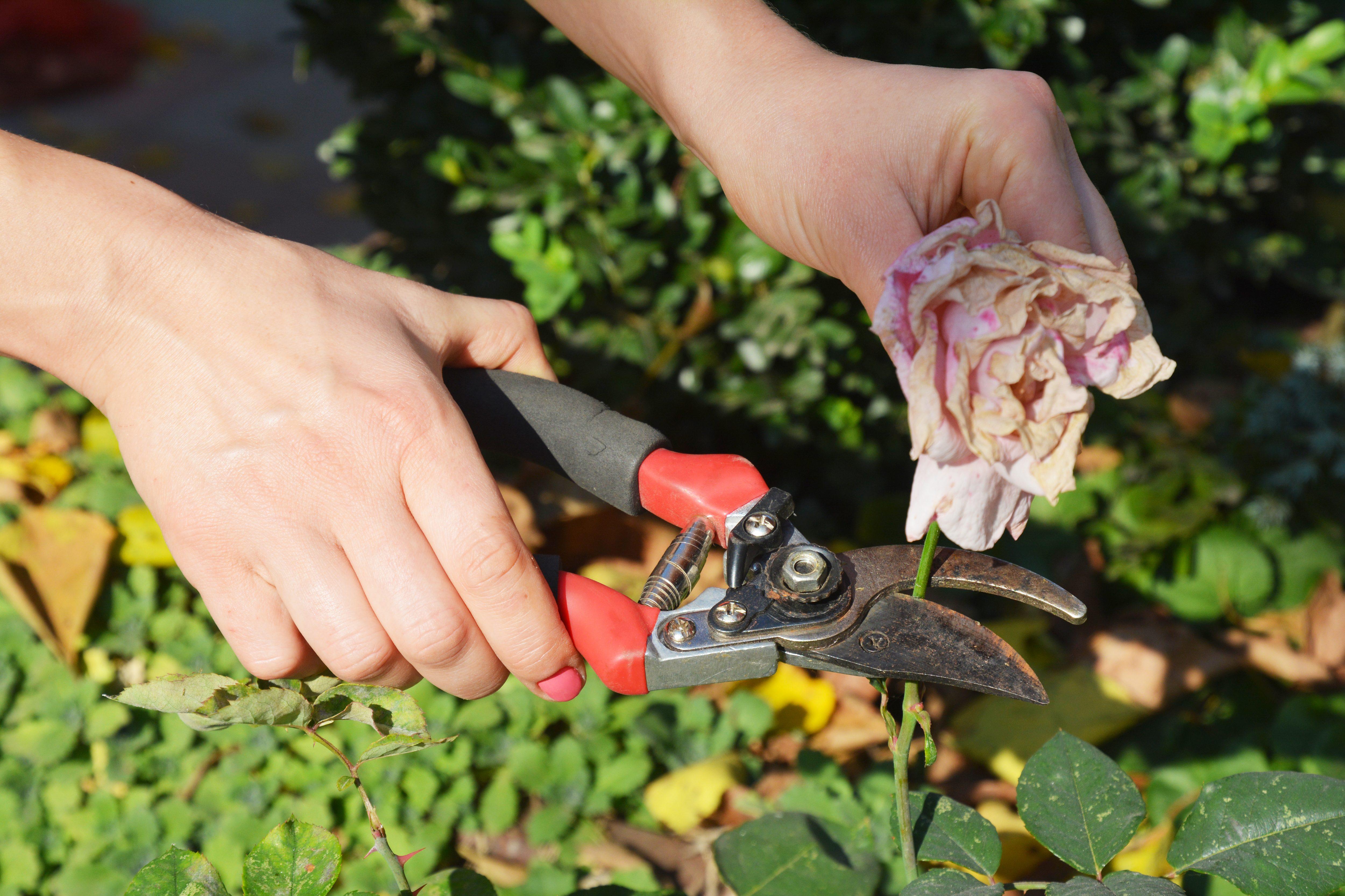Gardener deadheading roses bush