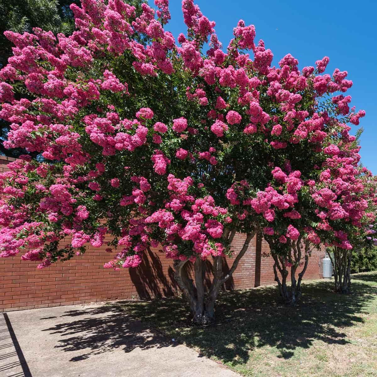 Crape Myrtle flowering tree