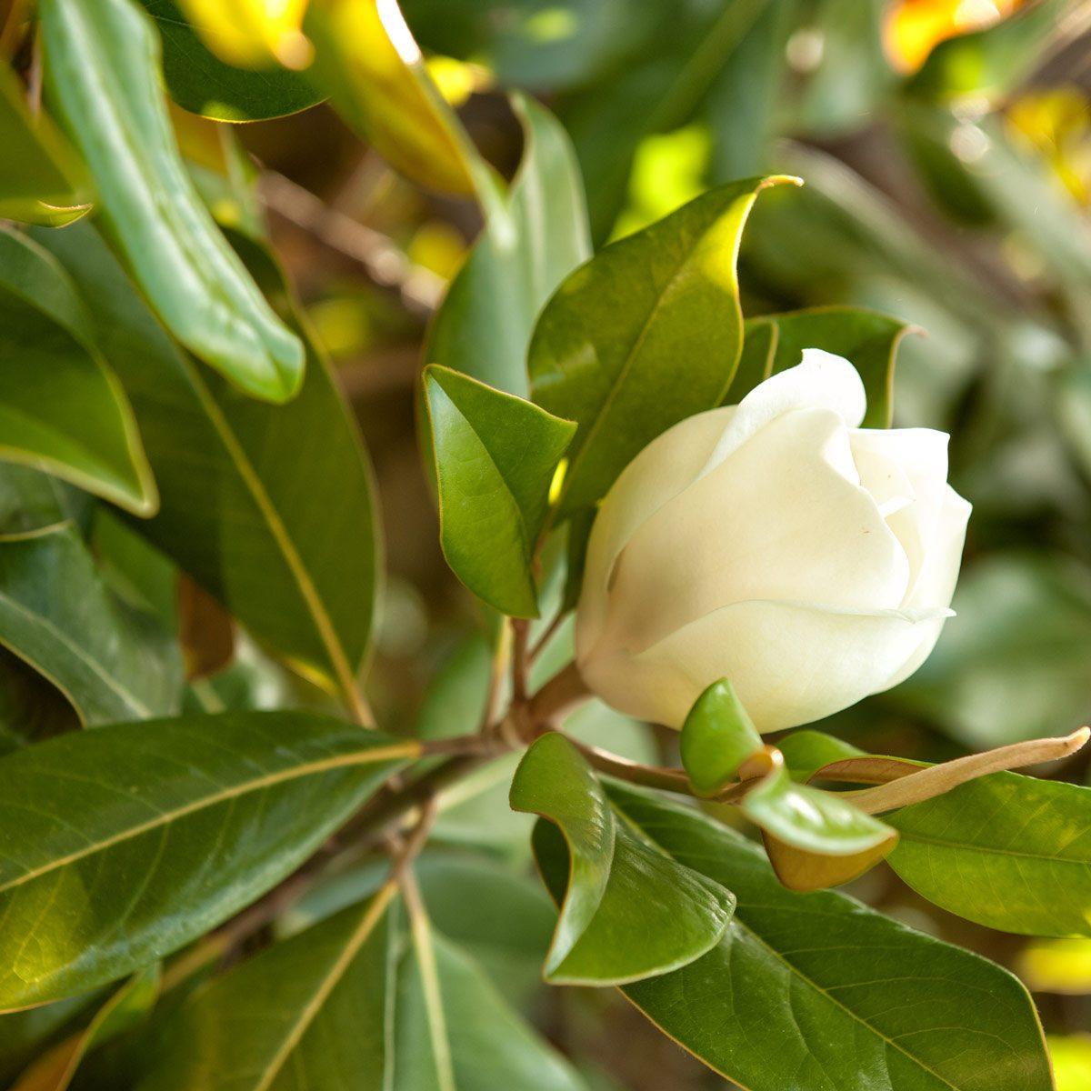 Sweet Bay Magnolia tree flower
