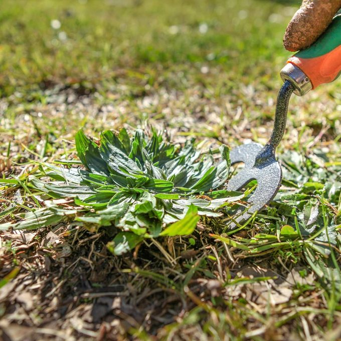 Weeding the lawn with a garden fork
