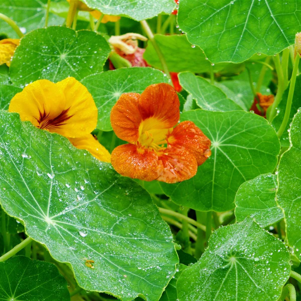 Close-Up Of Wet Nasturtiums And Leaves