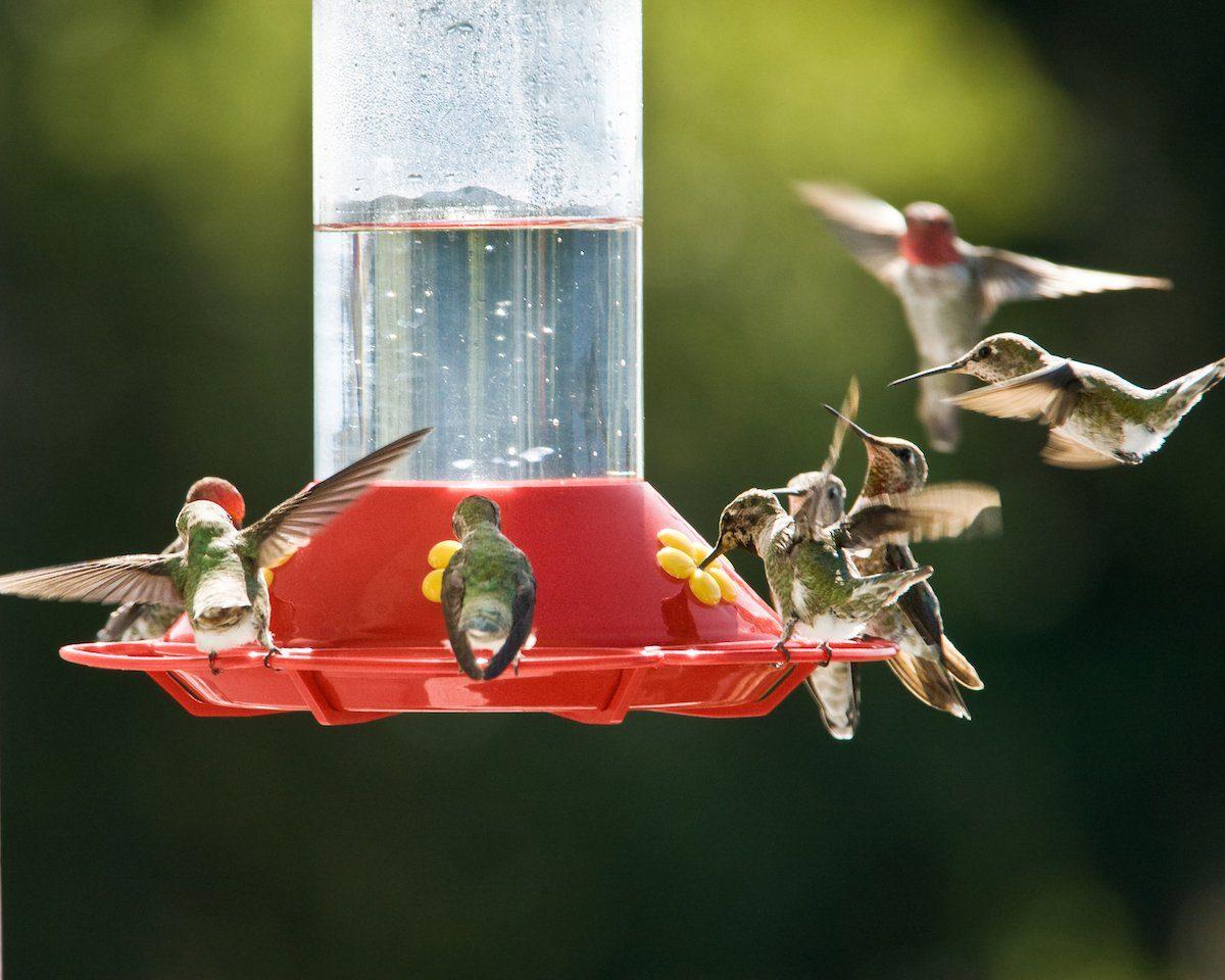 Hummingbirds hover around a feeder