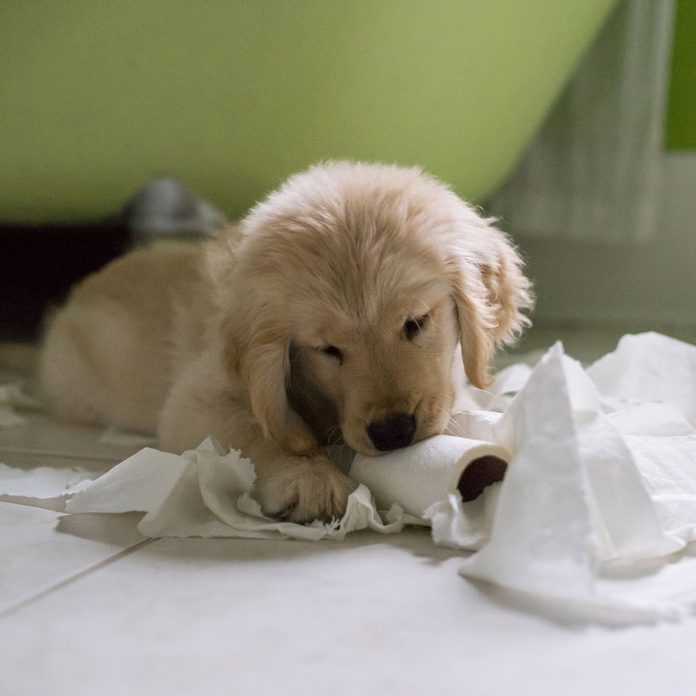 Puppy chewing on toilet paper