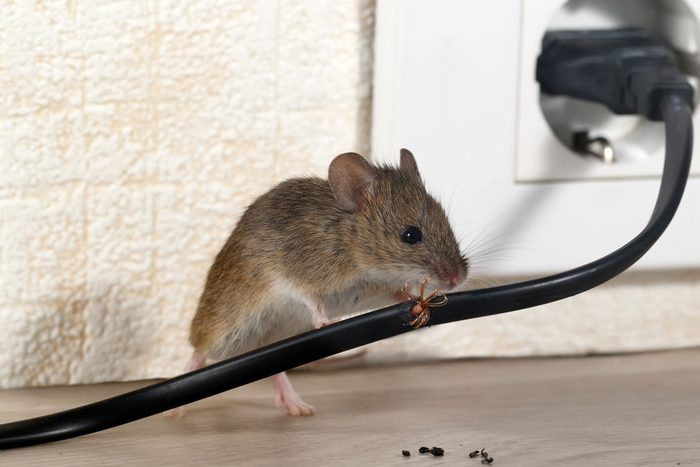 Mouse Damage Gettyimages 950284584
