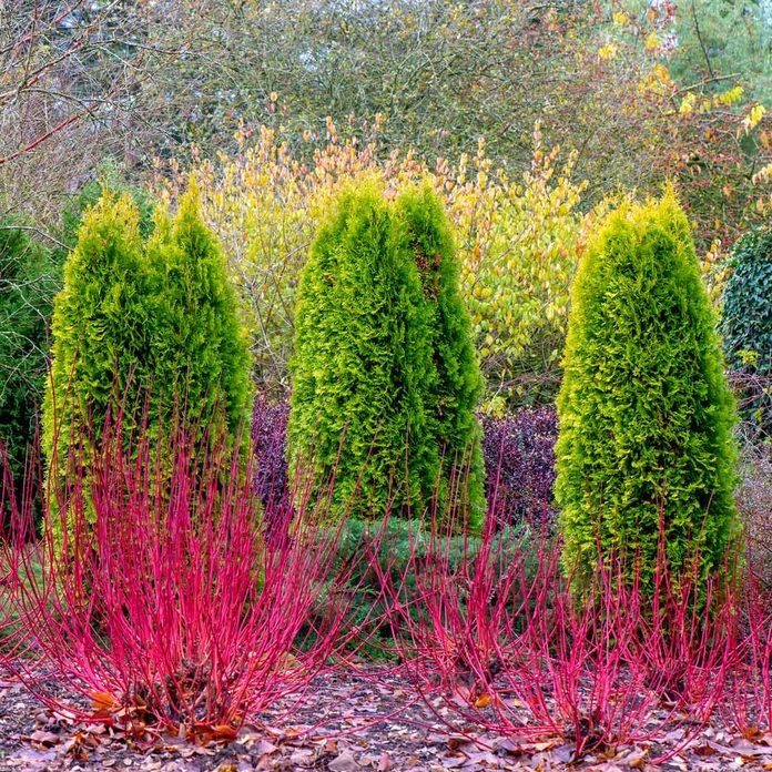 Dogwood shrub