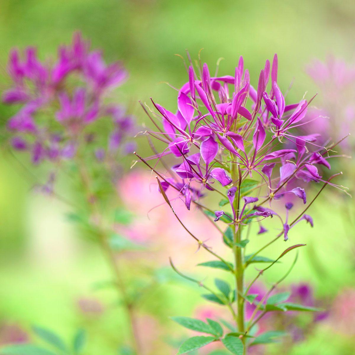 spider flower, Cleome hassleriana