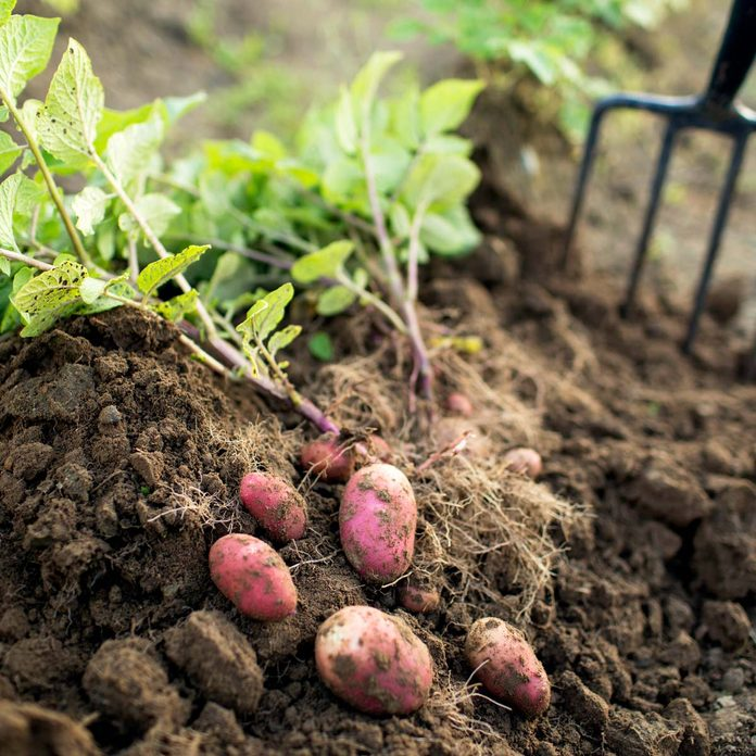 Potatoes fall vetables