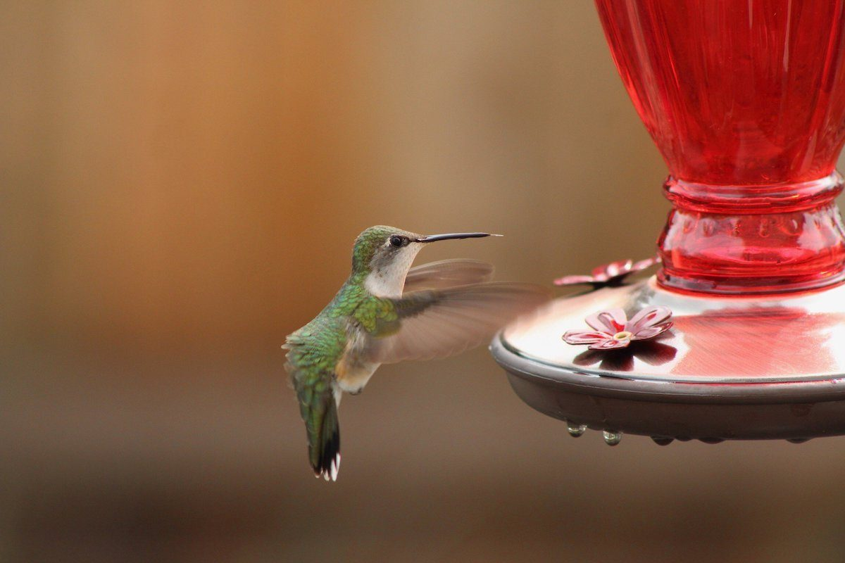Ruby-throated hummingbird at a sugar water feeder