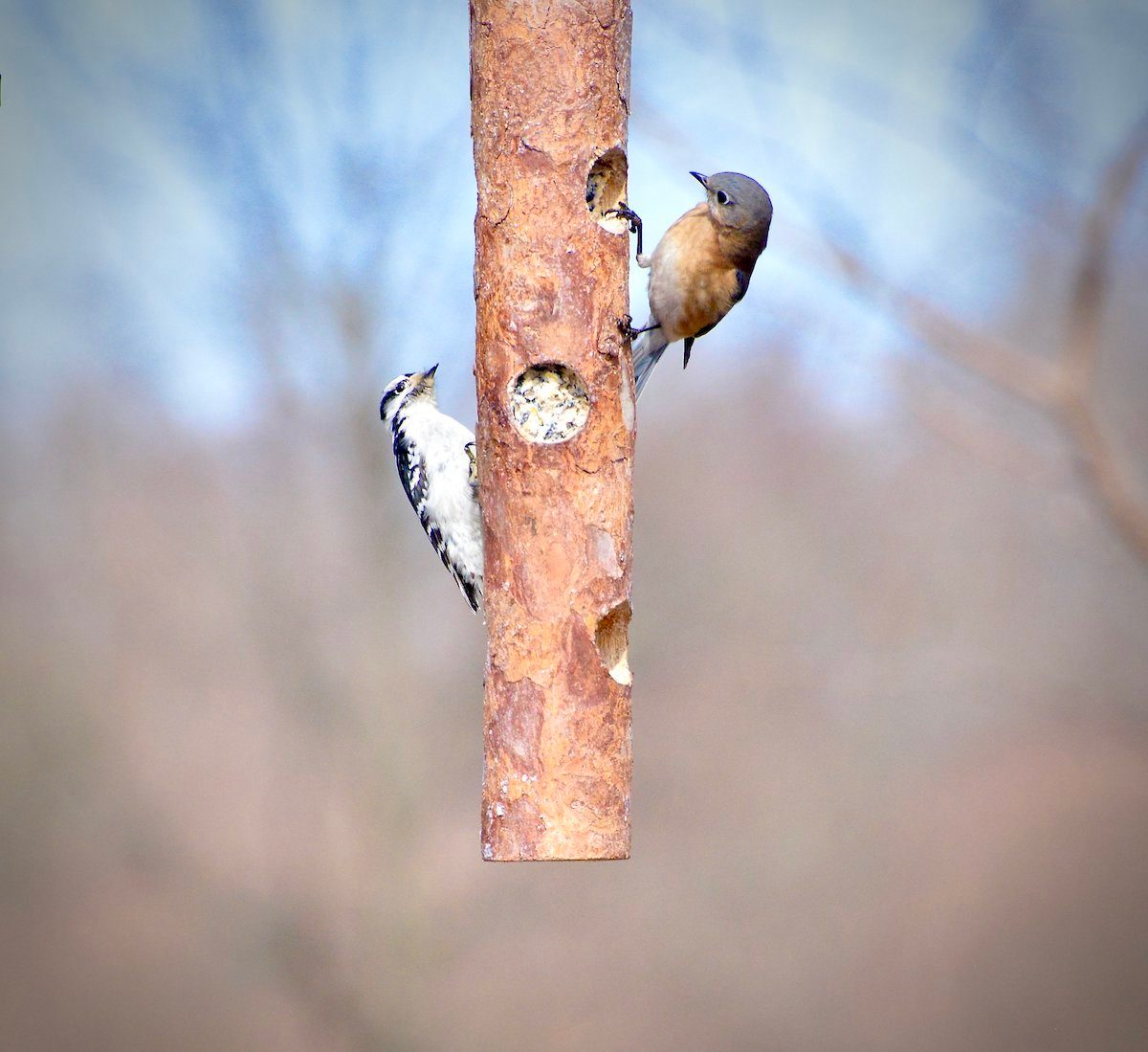 Downy woodpecker and bluebird on a log feeder