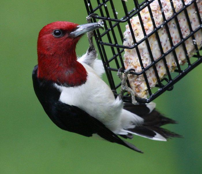 Red headed woodpecker feeds on suet