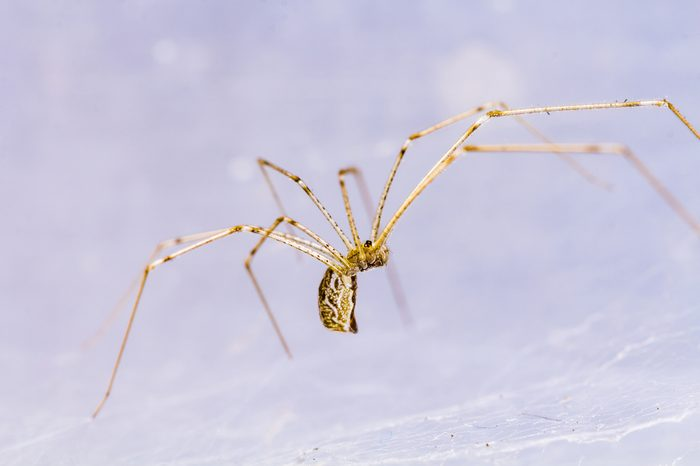 pholcidae, house spider