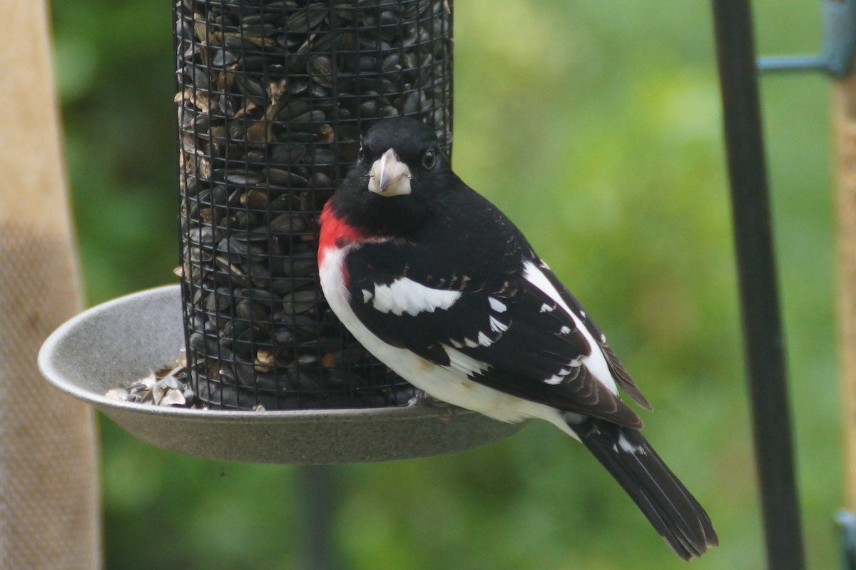 rose-breasted grosbeak at a tube feeder