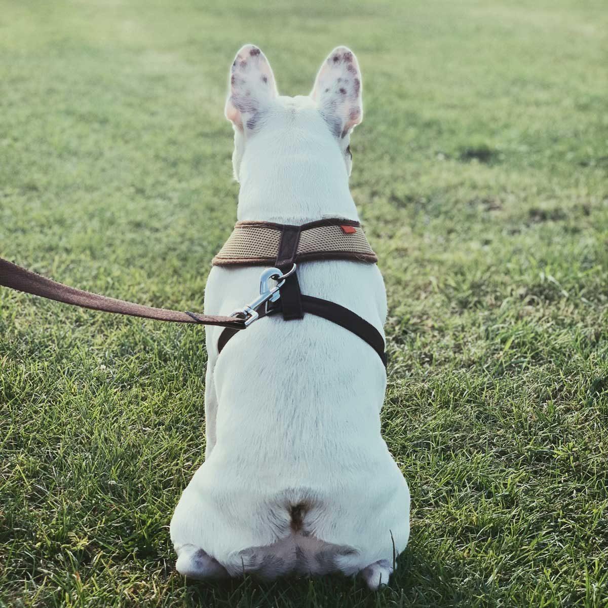 Dog wearing a harness