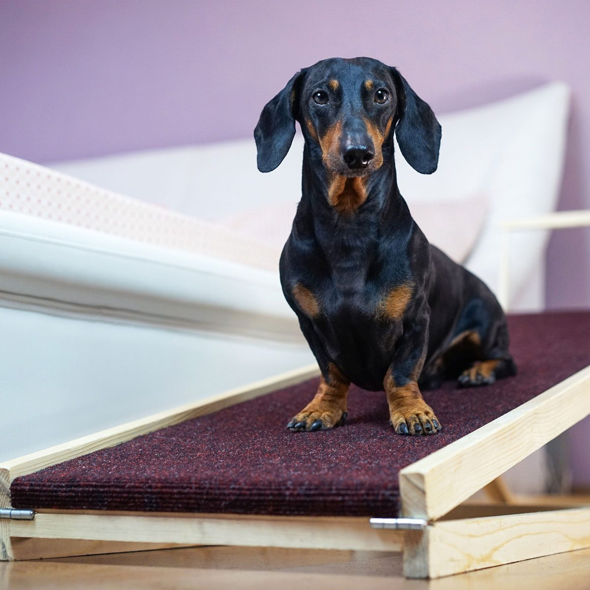 Dog on a pet ramp