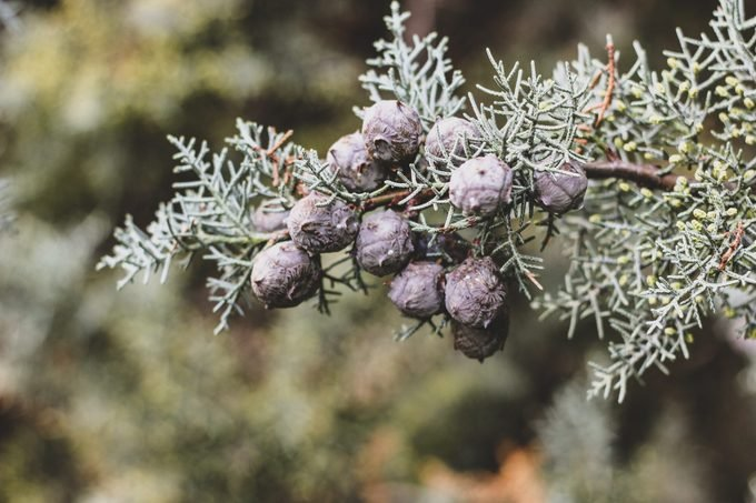Tender Christmas background of cypress with cones