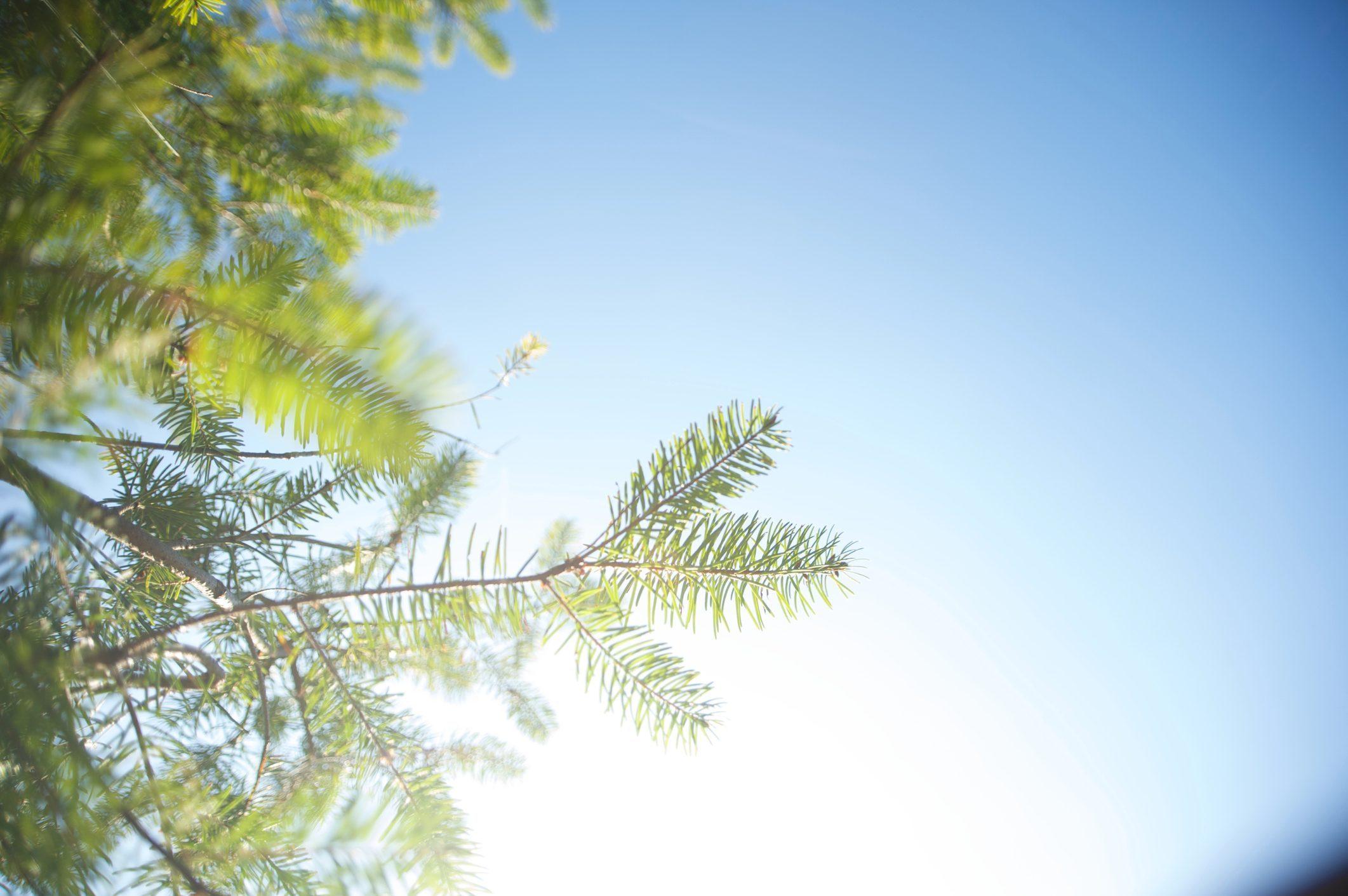 Douglas fir