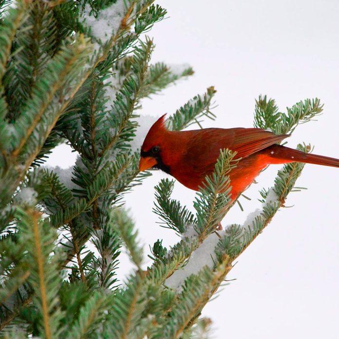 Male Cardinal in a fraser fir christmas tree