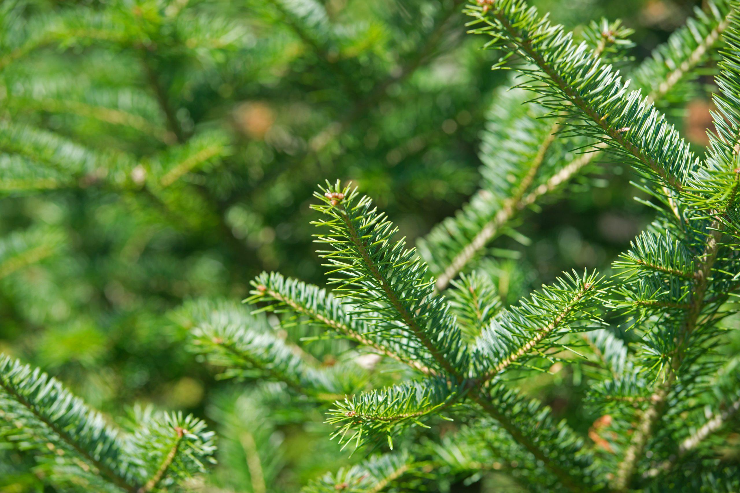 Balsam Fir tree tips