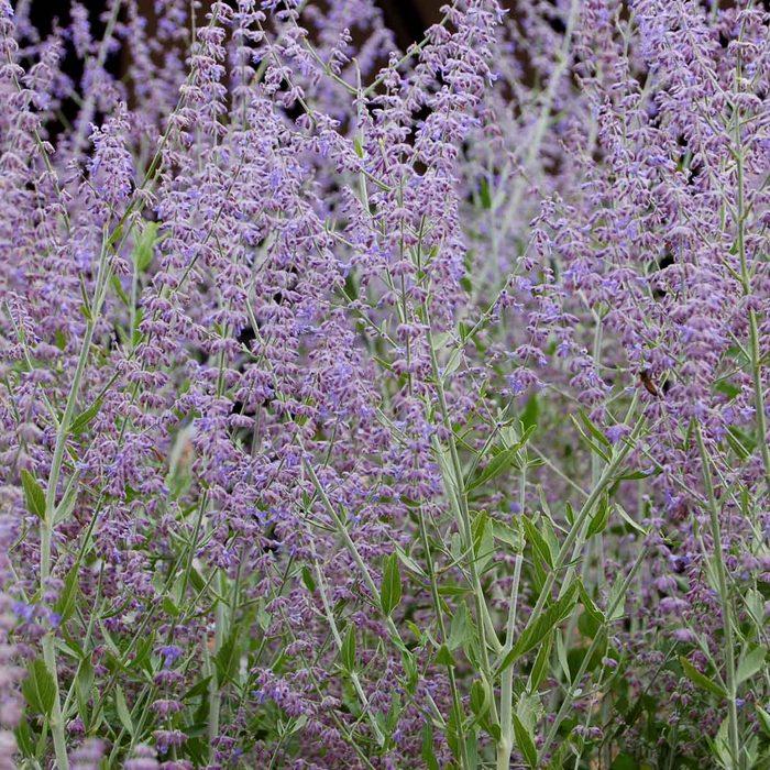 Russian sage (Perovskia atriplicifolium)