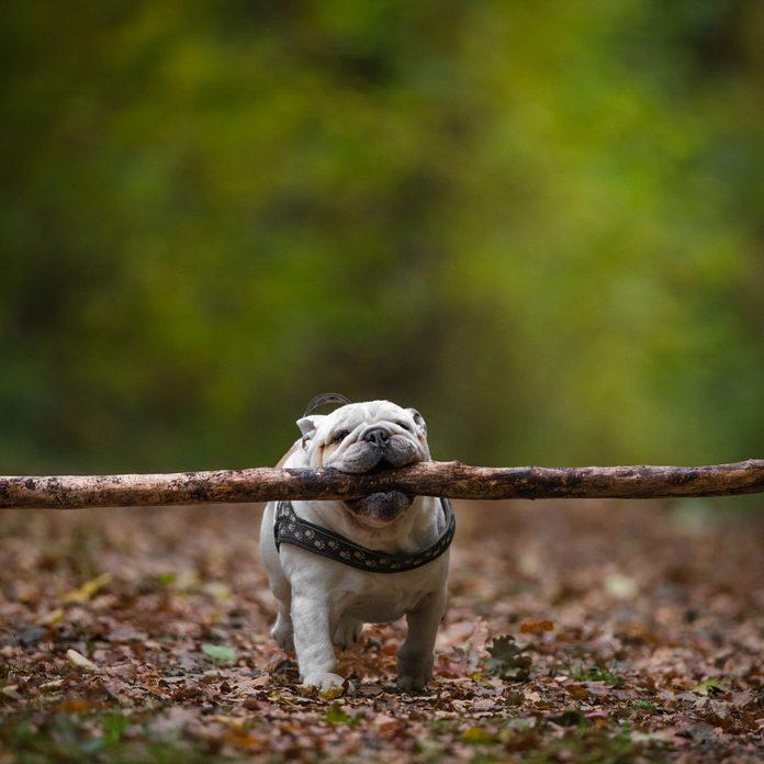Dog with a big stick