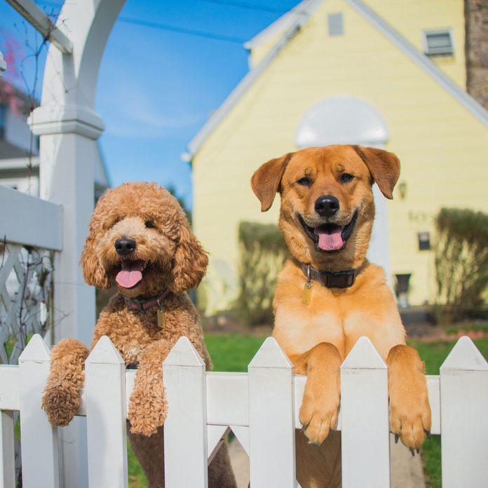 Dogs greeting a visitor at the fence