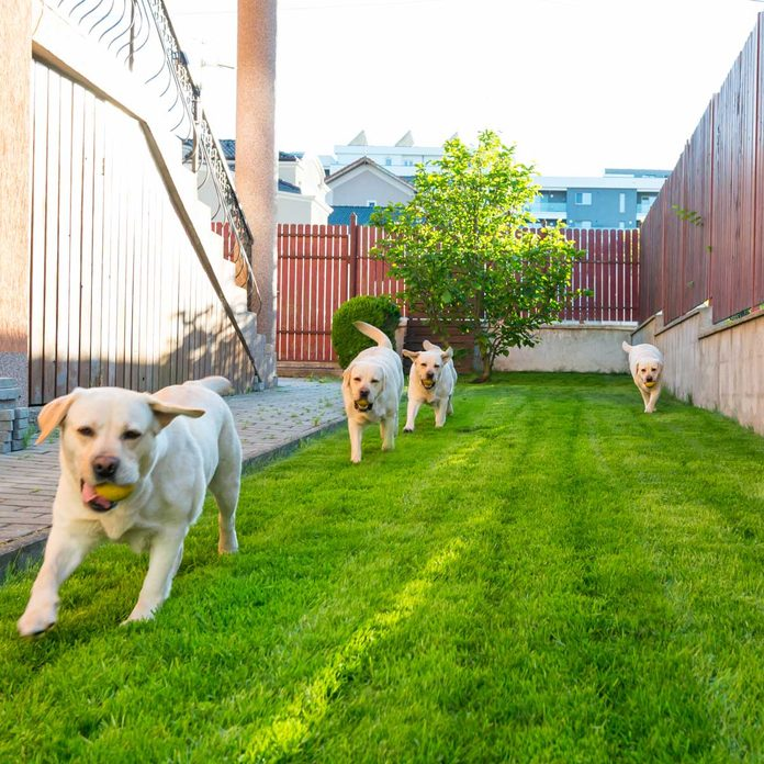 Dogs playing in a fenced yard