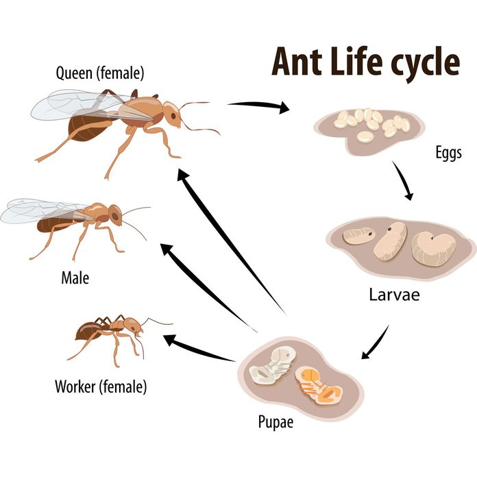 Ant lifecycle illustration