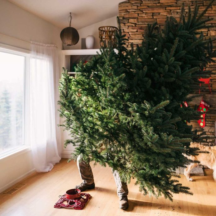 Putting a Christmas tree into a tree stand