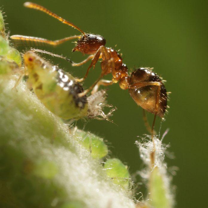 Crazy ant