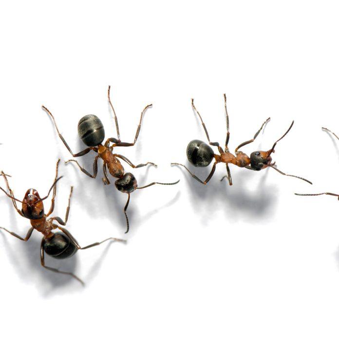 Field ants