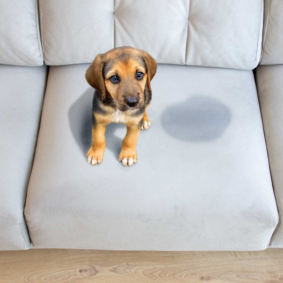 Dog Accident On Couch Gettyimages 1132148411