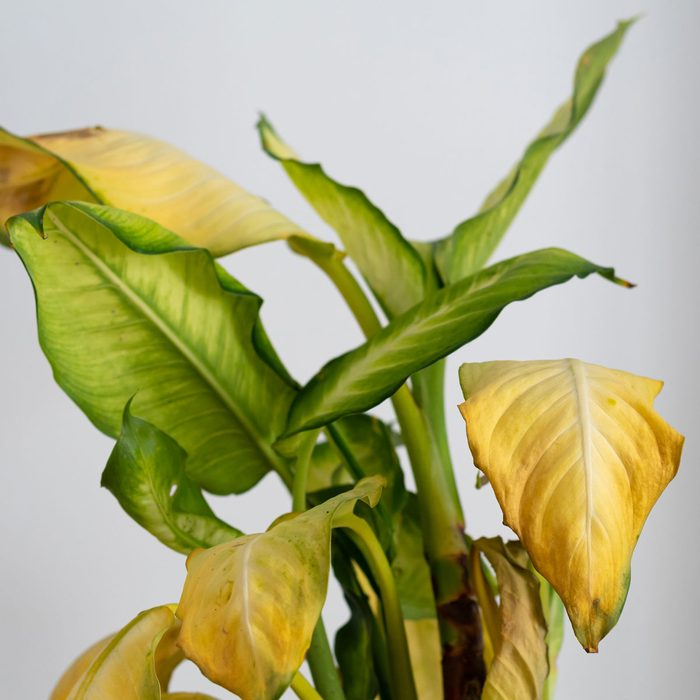 Plant Leaves Turning Yellow Gettyimages 1205587398
