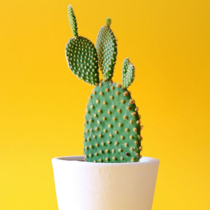 Prickly Pear Cactus Gettyimages 1162132691