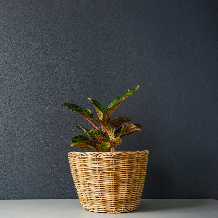 Chinese Evergreen Gettyimages 1010984788