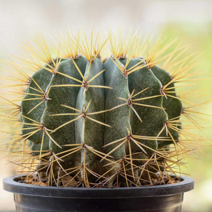 Ferocactus Glaucescens Gettyimages 489268271