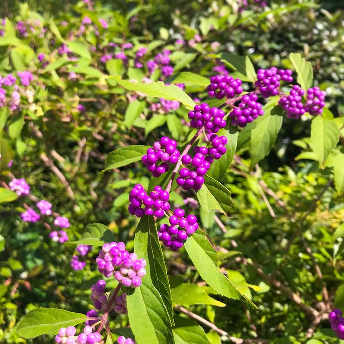Beautyberry Callicarpa
